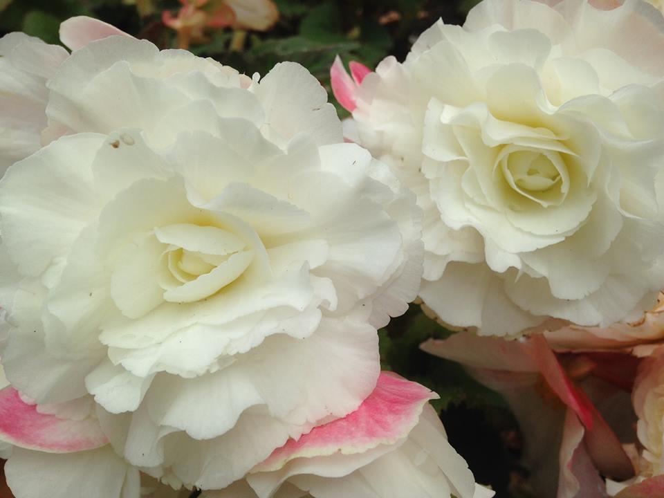 rose at battersea 1