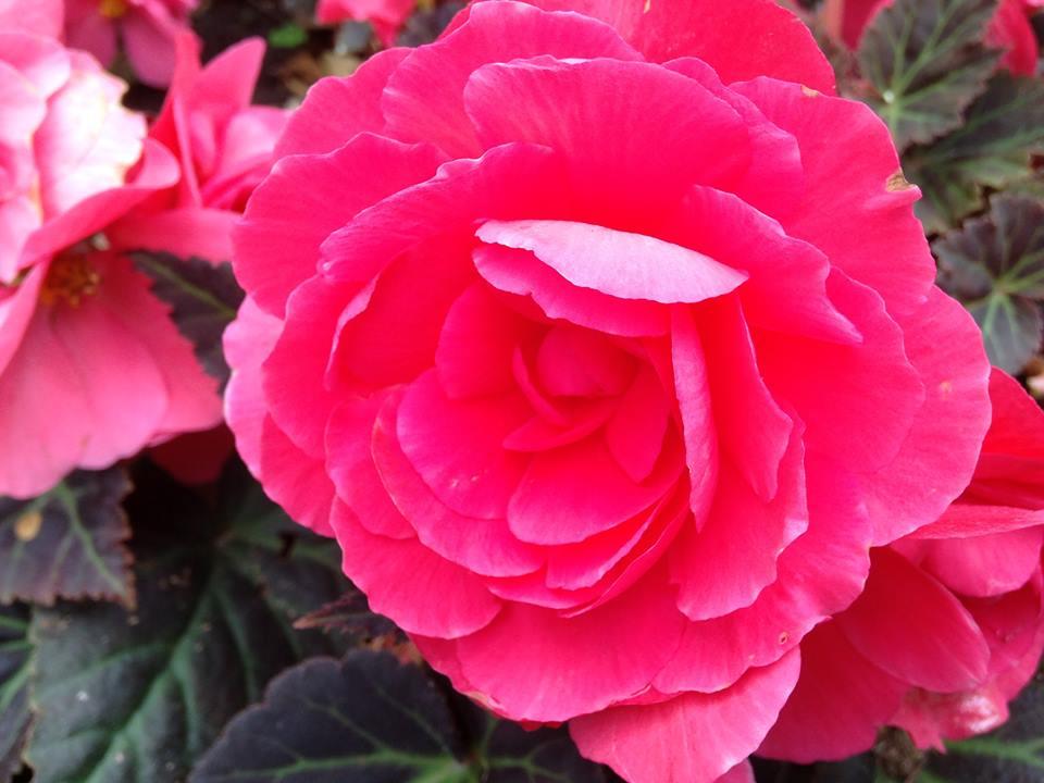 rose at battersea 2