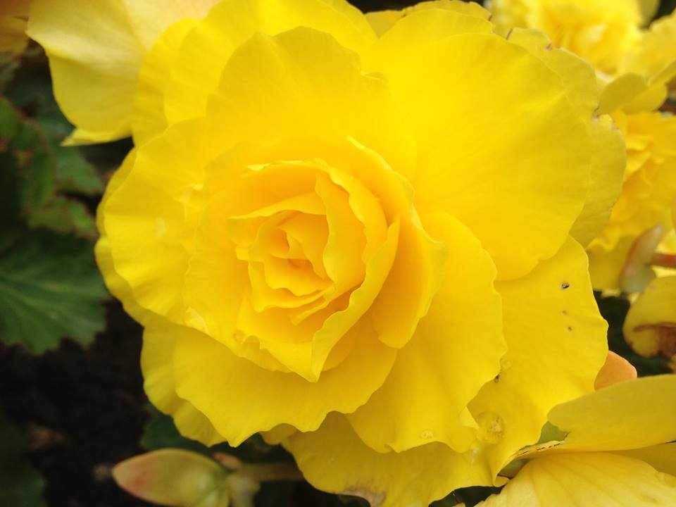 rose at battersea