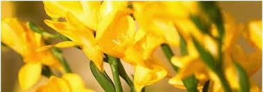 hypno flower 14